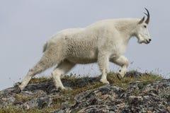 Chèvre de montagne d'Alaska Images libres de droits