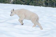 Chèvre de montagne d'enfant de bébé sur le champ de neige de colline d'ouragan en parc national olympique aux Etats-Unis du nord- Images stock