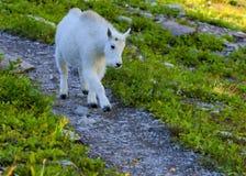Chèvre de montagne d'enfant en parc national de glacier Image stock