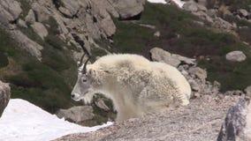 Chèvre de montagne dans Al banque de vidéos