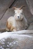Chèvre de montagne dans la neige Images stock