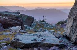Chèvre de montagne dans le pré alpin au coucher du soleil - parc national de glacier Image libre de droits