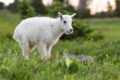 Chèvre de montagne de bébé Photo stock