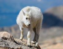 Chèvre de montagne de bébé - chèvres de montagne dans le Colorado Rocky Mounta Photographie stock
