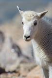 Chèvre de montagne de bébé - chèvres de montagne dans le Colorado Rocky Mounta Image stock