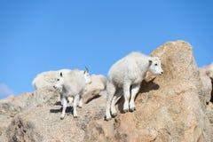 Chèvre de montagne de bébé - chèvres de montagne dans le Colorado Rocky Mounta Photo libre de droits