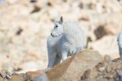 Chèvre de montagne de bébé - chèvres de montagne dans le Colorado Rocky Mounta Images stock