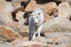 Chèvre de montagne de bébé - chèvres de montagne dans le Colorado Rocky Mounta Image libre de droits