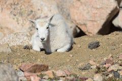 Chèvre de montagne de bébé - chèvres de montagne dans le Colorado Rocky Mounta Photographie stock libre de droits