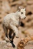 Chèvre de montagne de chéri Photographie stock libre de droits