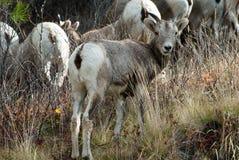 Chèvre de montagne de chéri Image stock