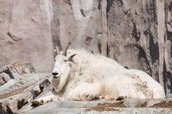 Chèvre de montagne de sourire Photographie stock libre de droits
