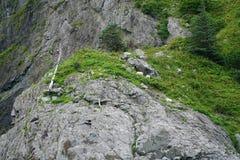 Chèvre de montagne, Eagles chauve photos stock