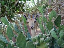 Chèvre de montagne en EN Gedi, Israël Photos stock