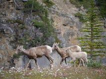 Chèvre de montagne en parc national Image stock