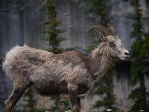 Chèvre de montagne en parc national Photographie stock