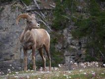 Chèvre de montagne en parc national Photo stock