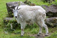 Chèvre de montagne et x28 ; Americanus& x29 d'Oreamnos ; Photo stock