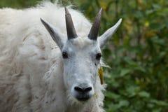 Chèvre de montagne et x28 ; Americanus& x29 d'Oreamnos ; Photos stock