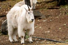 Chèvre de montagne et x28 ; Oreamnos américanus et x29 ; Photographie stock