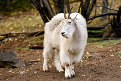 Chèvre de montagne et x28 ; Oreamnos américanus et x29 ; Photos stock