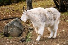 Chèvre de montagne et x28 ; Oreamnos américanus et x29 ; Photo stock