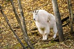 Chèvre de montagne et x28 ; Oreamnos américanus et x29 ; Photo libre de droits