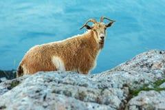 Chèvre de montagne femelle sur le dessus de la montagne Ilyas Kaya en Crimée Photo libre de droits