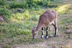 Chèvre de montagne frôlant sur l'herbe Photo stock