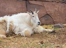 Chèvre de montagne jetant le manteau d'hiver Photo stock
