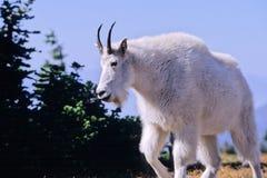 Chèvre de montagne, Oreamnos américanus Image stock