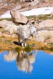 Chèvre de montagne reflétée dans l'étang Images stock