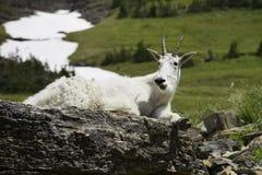 Chèvre de montagne reposant sur des roches en stationnement national de glacier Photographie stock libre de droits
