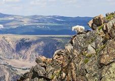 Chèvre de montagne rocheuse Images libres de droits