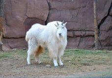 Chèvre de montagne rocheuse Photos libres de droits