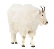 Chèvre de montagne rocheuse au-dessus du fond blanc Photos libres de droits