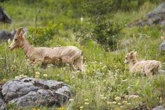 -chèvre de montagne rocheuse avec un gosse images stock
