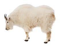 Chèvre de montagne rocheuse. D'isolement au-dessus du blanc Image libre de droits