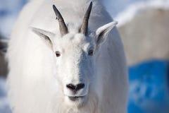 Chèvre de montagne rocheuse (Oreamnos américanus) Image stock