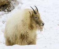 Chèvre de montagne sale sur la neige creusant pour l'herbe et toute autre nourriture dedans Photos stock
