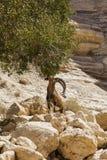 Chèvre de montagne sauvage Image libre de droits