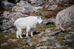 Chèvre de montagne sauvage sur le bâti Evans Images libres de droits