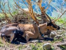 Chèvre de montagne se reposant près d'un buisson Chèvre de montagnes alpine Photos stock