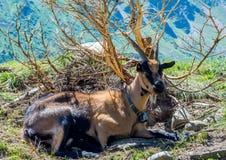 Chèvre de montagne se reposant près d'un buisson Chèvre de montagnes alpine Photos libres de droits