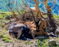Chèvre de montagne se reposant près d'un buisson Chèvre de montagnes alpine Photo libre de droits