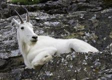 Chèvre de montagne se reposant sur des roches Images libres de droits
