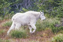Chèvre de montagne Stationnement national de glacier montana LES Etats-Unis image stock