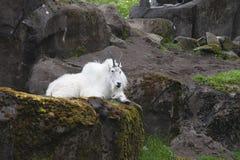Chèvre de montagne sur des roches Images libres de droits