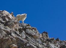 Chèvre de montagne sur la crête de gris Photos stock