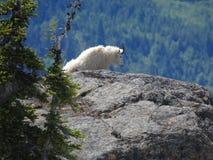 Chèvre de montagne sur la falaise Photographie stock